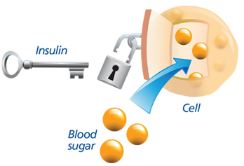 Image result for insulin unlocking a cell